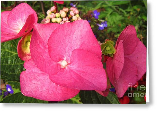 Flower Photos Greeting Cards - Pink Hydrangea 2 Greeting Card by John Clark
