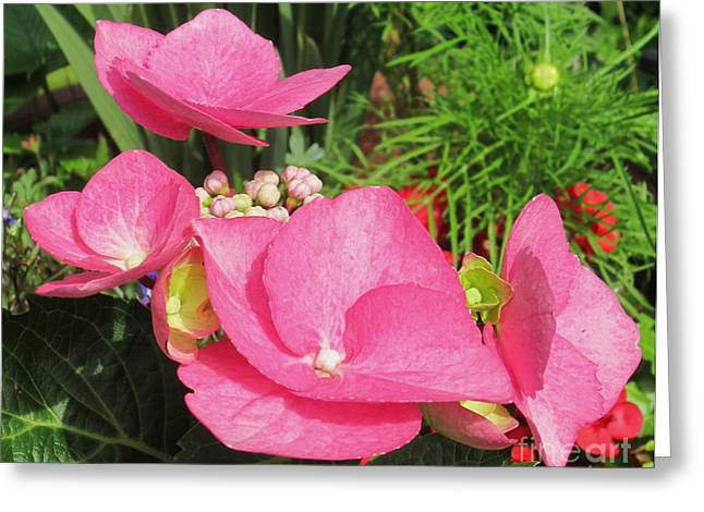 Flower Photos Greeting Cards - Pink Hydrangea Greeting Card by John Clark