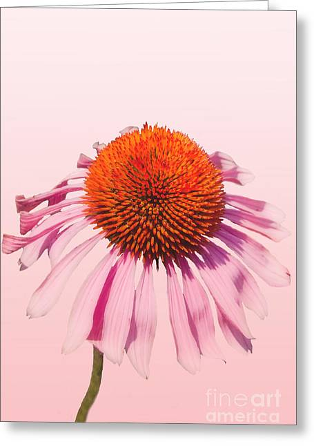 Pink Greeting Card by K Hines