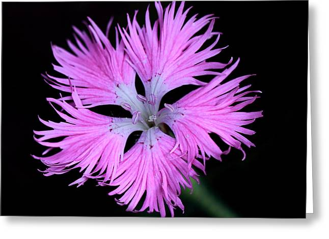 Horsemint Greeting Cards - Pink Lace Greeting Card by Rebecca Morgan