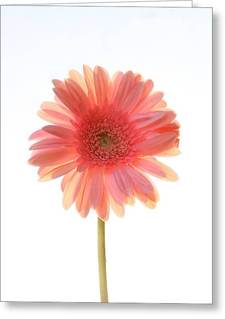 Pink Flower Greeting Cards - Pink Lemonade Greeting Card by Amy Tyler