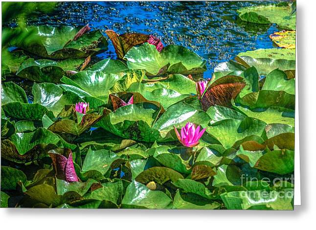 Lilly Pads Greeting Cards - Pink Lilly Flowers and Pads Greeting Card by Peggy  Franz