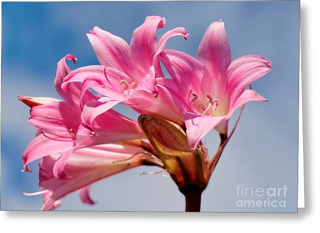 My Ocean Greeting Cards - Pink Lily Greeting Card by   FLJohnson Photography