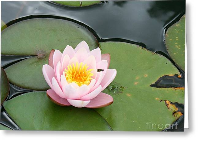 Waterlily Stamen Greeting Cards - Pink Lotus Greeting Card by Christiane Schulze Art And Photography