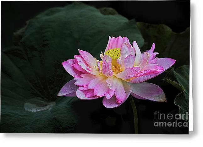 Hoa Greeting Cards - Pink Lotus Flower 2 Greeting Card by Heng Tan