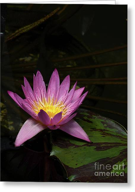 Linda Matlow Greeting Cards - Pink lotus flower on lily pad Greeting Card by Linda Matlow