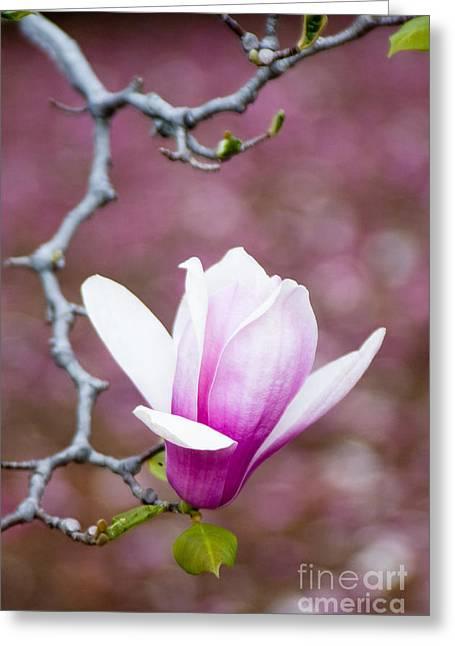Pink Magnolia Flower Greeting Card by Oscar Gutierrez