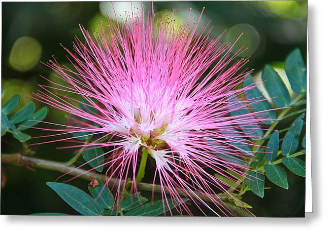 Pudica Greeting Cards - Pink mimosa flower Greeting Card by Eti Reid