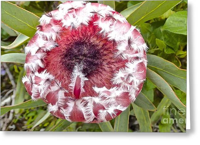 Surfing Art Greeting Cards - Tickle Me Pink Pink Mink Protea Greeting Card by Cheryl Cutler