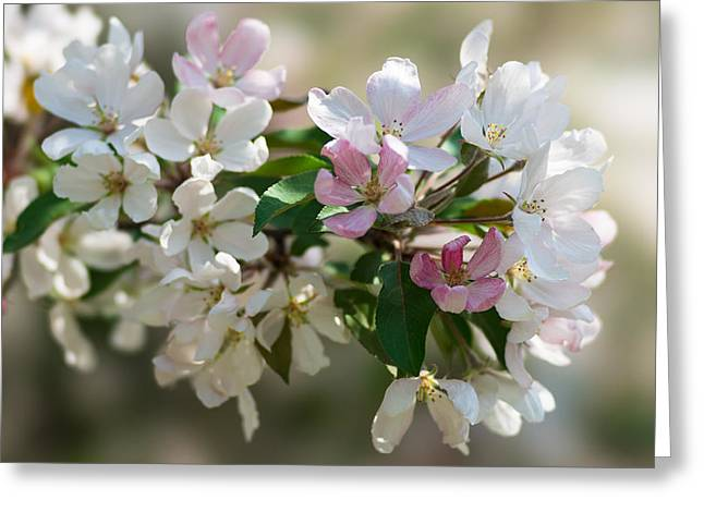Photo Calendars Greeting Cards - Pink Mists Of Spring 6 Greeting Card by Alexander Senin
