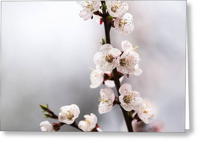 Photo Calendars Greeting Cards - Pink Mists Of Spring 7 Greeting Card by Alexander Senin