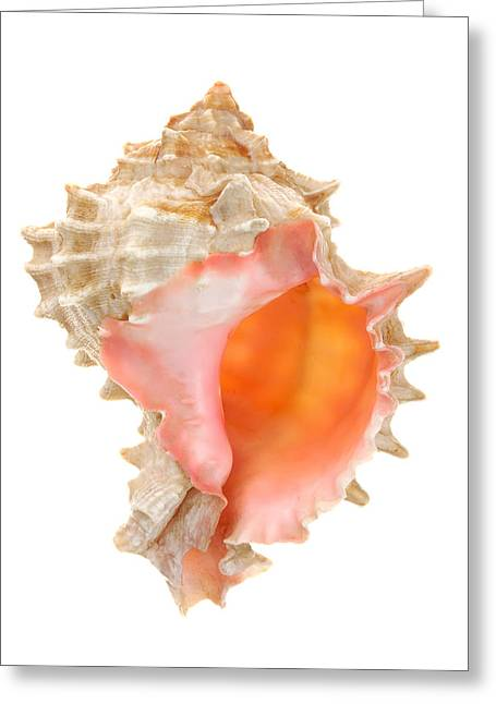 Pink Mouthed Murex Shell Greeting Card by Jim Hughes