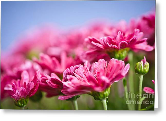 Dew Greeting Cards - Pink mums Greeting Card by Elena Elisseeva