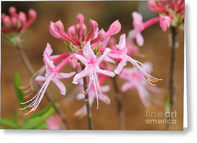 Raindrops On Flowers Greeting Cards - Pink Native Azaleas Greeting Card by Carol Groenen