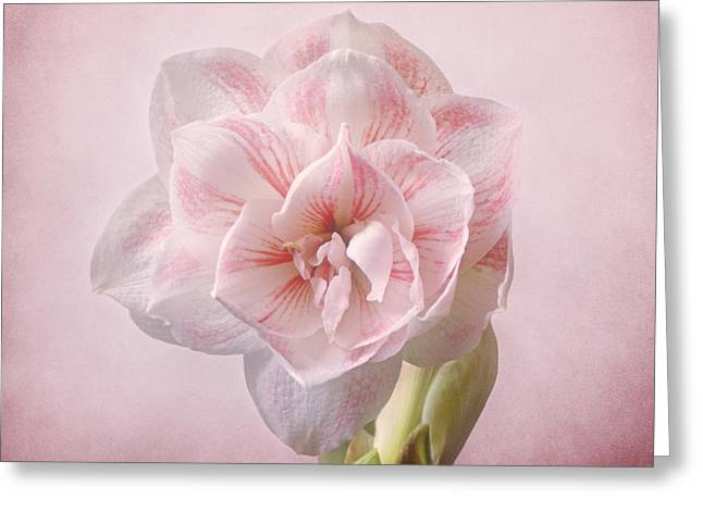 Indiana Flowers Greeting Cards - Pink Nymph Amaryllis Greeting Card by Sandy Keeton