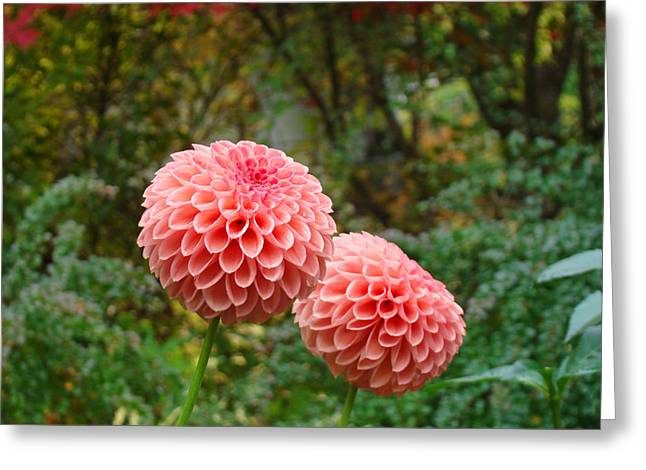 Popular Photographs Greeting Cards - Pink Orange Dahlia Flowers Art Prints Gardens Greeting Card by Baslee Troutman