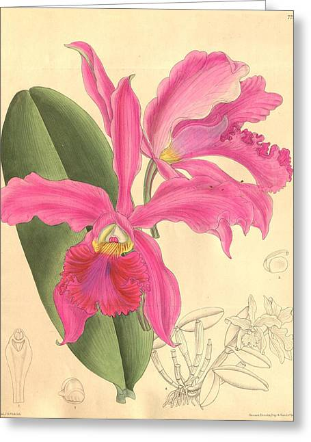 Office Plants Drawings Greeting Cards - Pink Orchid Greeting Card by Philip Ralley