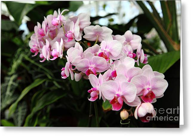 Pink Orchids 5d22430 Greeting Card by Wingsdomain Art and Photography