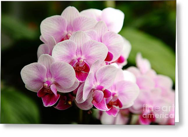 Pretty Orchid On Pink Greeting Cards - Pink Orchids 5D22439 Greeting Card by Wingsdomain Art and Photography