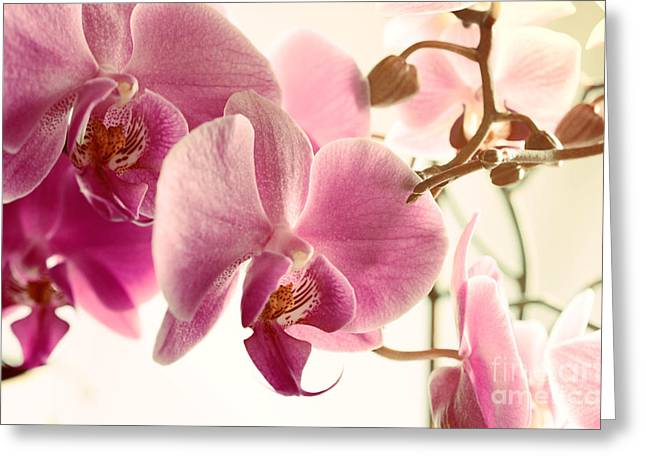 Mothers Day Greeting Cards - Pink Orchids and Warm Sunlight Greeting Card by Sabine Jacobs