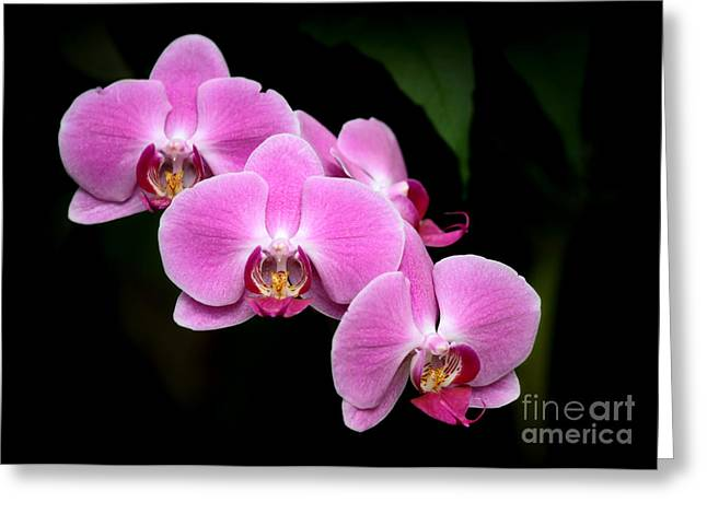 Amazing Gardens Greeting Cards - Pink Orchids in a Row Greeting Card by Sabrina L Ryan