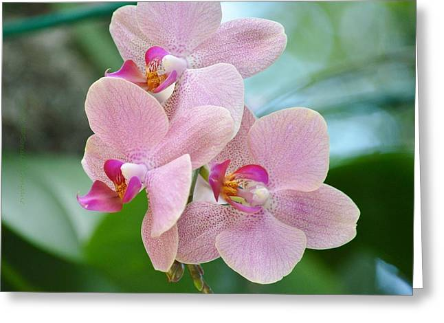 Magnificient Flowers Greeting Cards - Pink Orchis Greeting Card by Sonali Gangane