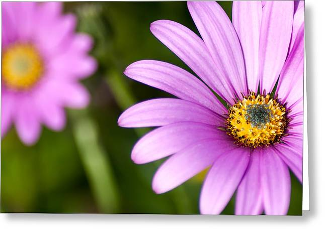 Purple Sensation Greeting Cards - Pink Osteospermum Greeting Card by Chay Bewley