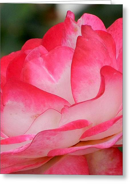 Sorbet Greeting Cards - Pink Pedals Greeting Card by Virginia Forbes