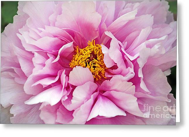 Pink Flower Prints Greeting Cards - Pink Peony Close-Up Greeting Card by Nishanth Gopinathan