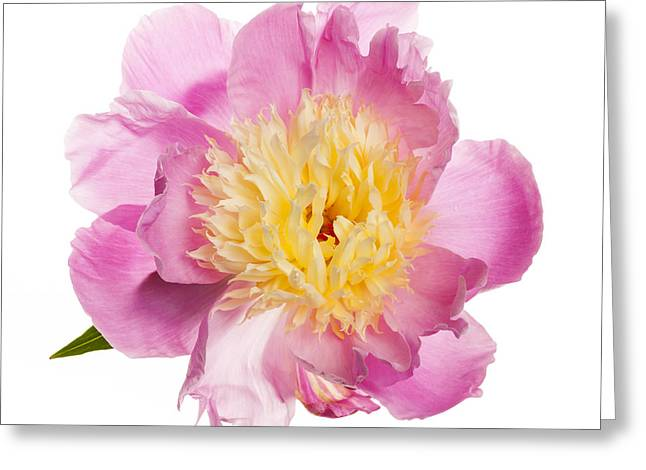 Pink Peony Flower Greeting Card by Elena Elisseeva