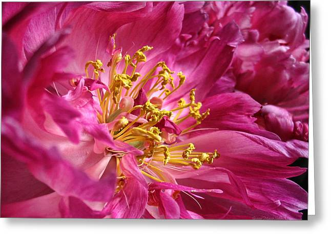 Pink Peony Flower Macro Greeting Card by Jennie Marie Schell