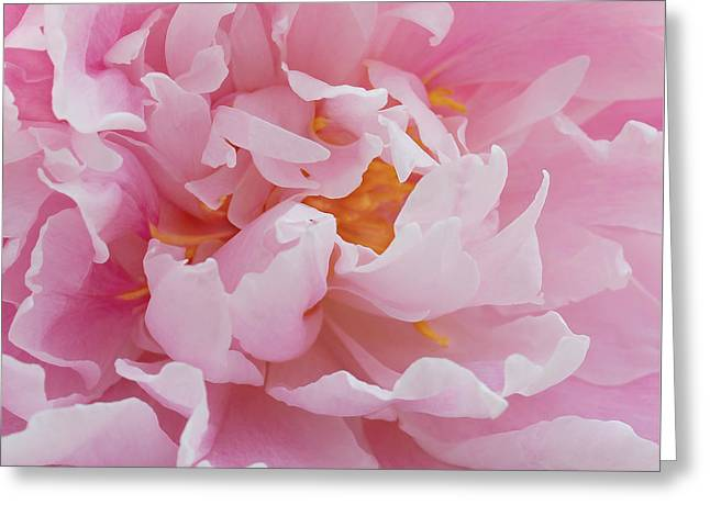 Peony Art Greeting Cards - Pink Peony Flower Waving Petals  Greeting Card by Jennie Marie Schell