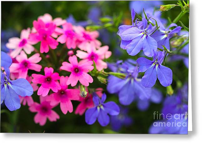 Purple Phlox Greeting Cards - Pink Phlox and Violet Flowers Greeting Card by Corey Ford