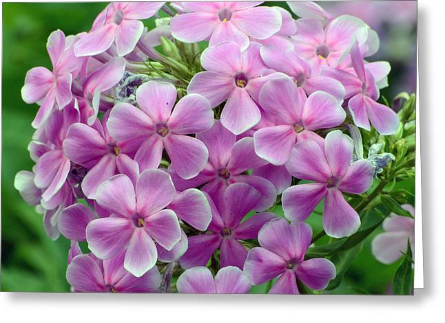 Aperture Greeting Cards - Pink Phlox in Pine River Greeting Card by Chris Tennis