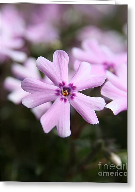 Wildflower Fine Art Greeting Cards - Pink Phlox  Greeting Card by Neal  Eslinger