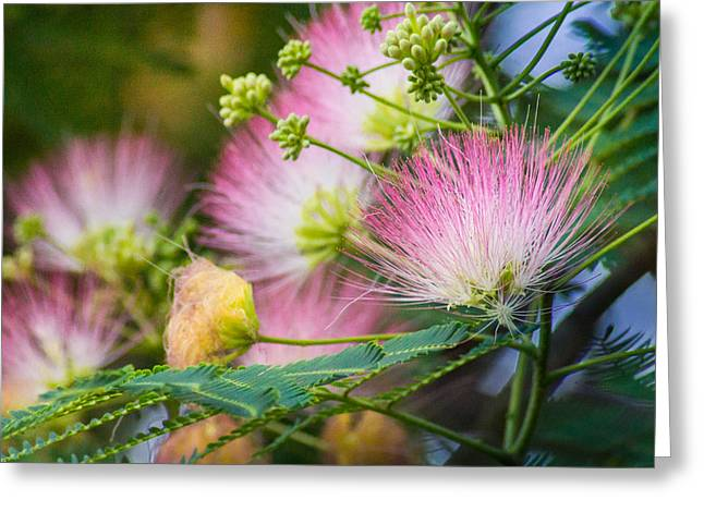 Mimosa Flowers Greeting Cards - Pink Pom Poms Greeting Card by Bill Pevlor