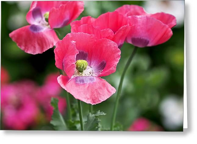 Pink Poppies Greeting Card by Rona Black