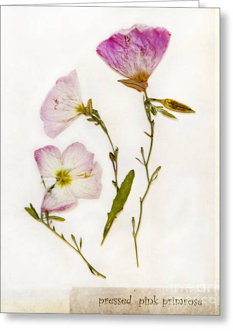 Pressed Flowers Greeting Cards - Pink Primroses Greeting Card by Linde Townsend