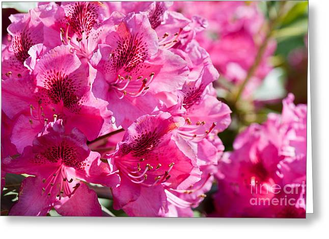 Rhododendron Called Azalea Bright Pink Flowers  Greeting Card by Arletta Cwalina