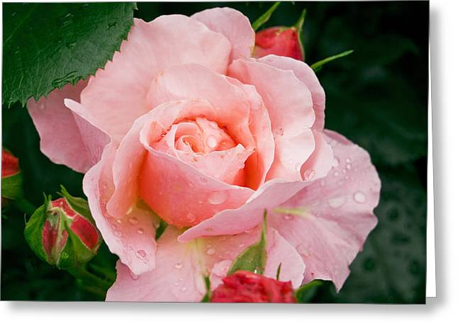 Wife Pyrography Greeting Cards - Pink Rose Greeting Card by Anna Polishchuk
