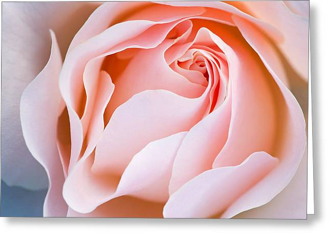 Unfold Greeting Cards - Pink Rose Greeting Card by Dean Pennala