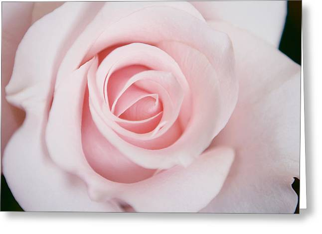 Pink Flower Prints Greeting Cards - Pink Rose Flower Greeting Card by Stephanie McDowell