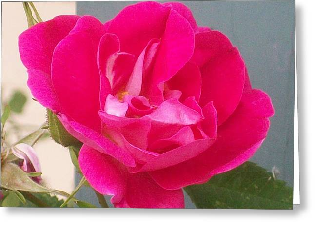Jewel Hengen Greeting Cards - Pink Rose Greeting Card by Jewel Hengen