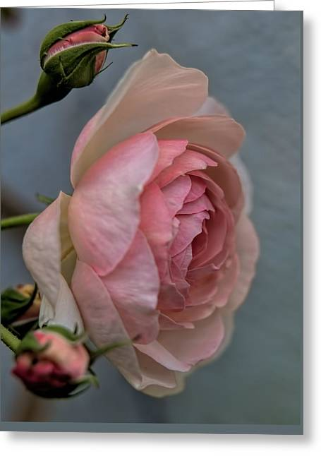 Print Photographs Greeting Cards - Pink rose Greeting Card by Leif Sohlman