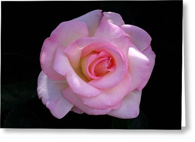 David Rizzo Greeting Cards - Pink Rose on Black Greeting Card by David Rizzo