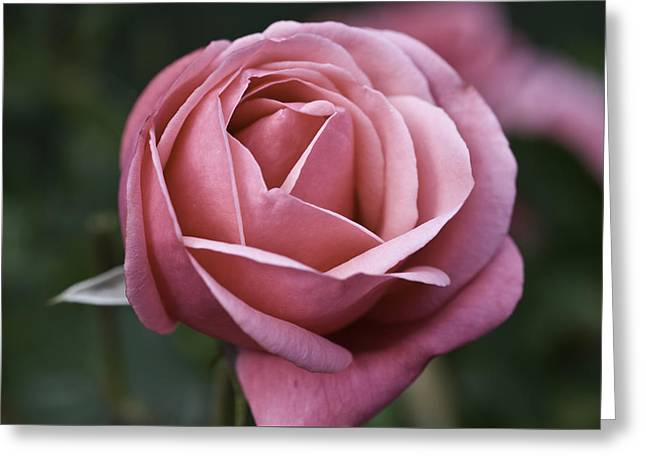 Rose Pleasure Greeting Cards - Pink Rose Greeting Card by Rex Argent