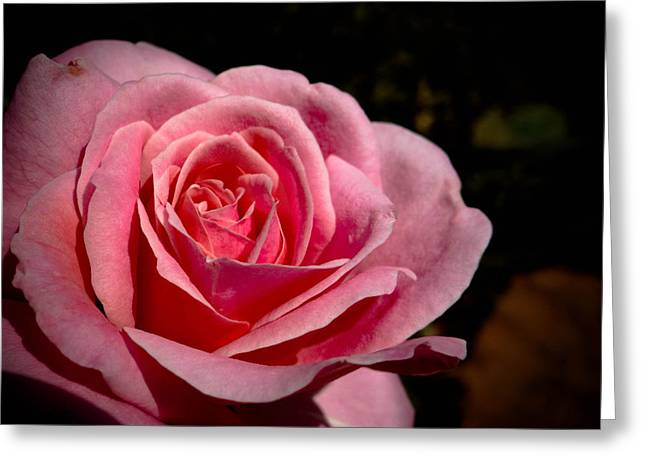 Botanical Greeting Cards - Pink Rose Greeting Card by Stacy Michelle Smith
