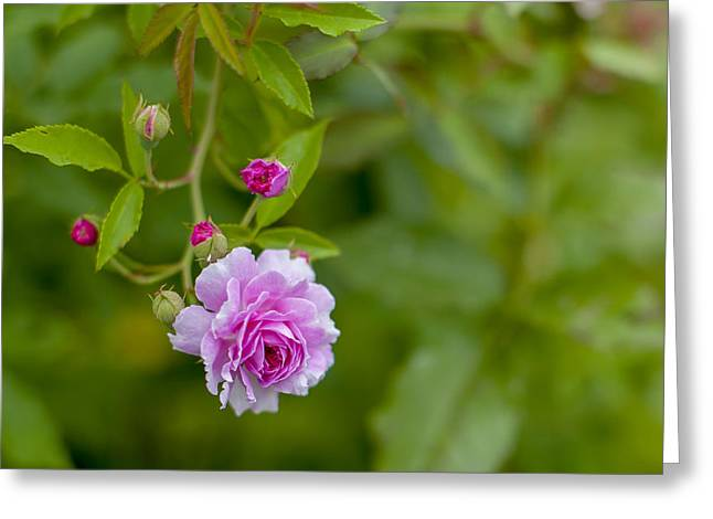 Celebration Art Print Greeting Cards - Pink Rose  Greeting Card by Terry DeLuco