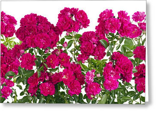 Rose Petals Greeting Cards - Pink roses big isolated line Greeting Card by Aleksandr Volkov