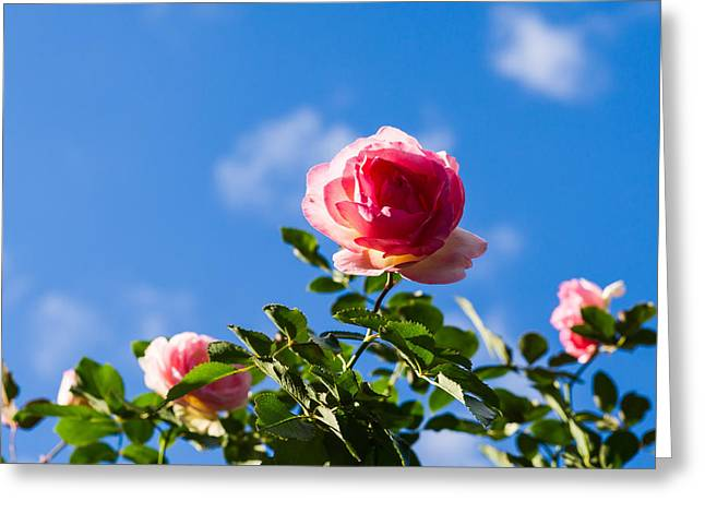 Rose Bushes Greeting Cards - Pink Roses - Featured 3 Greeting Card by Alexander Senin